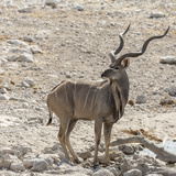 Namibia, Etosha National Park. Male Kudu Photo by Wendy Kaveney