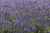 Lavender Farm, Furano, Hokkaido Prefecture, Japan Photo by Keren Su