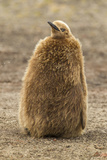 Falkland Islands, East Falkland, Saunders Island. King Penguin Chick Photographic Print by Cathy & Gordon Illg