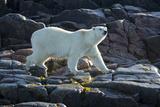 Canada, Nunavut, Repulse Bay, Polar Bears Walking Along Shore Photo by Paul Souders
