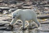 Canada, Nunavut, Repulse Bay, Polar Bear Patrolling Along Shoreline Photo by Paul Souders
