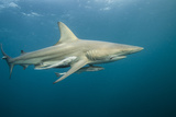 Oceanic Black-Tip Shark and Remora, KwaZulu-Natal, South Africa Photo by Pete Oxford