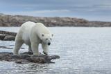 Canada, Nunavut, Repulse Bay, Polar Bear Walking Along Shoreline Photo by Paul Souders