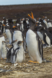 Falkland Islands, East Falkland. Gentoo Penguin Colony Photographic Print by Cathy & Gordon Illg