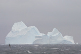 Southern Ocean, Antarctic. Giant Petrels Flying in Front of an Iceberg Photo by Janet Muir