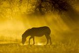 Botswana, Moremi Game Reserve, Plains Zebra in Okavango Delta, Sunset Photo by Paul Souders