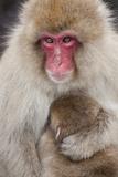 Japanese Macaque, Snow Monkey, Joshin-etsu NP, Honshu, Japan Photo by Peter Adams