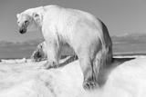Canada, Nunavut Territory, Wet Polar Bear on an Iceberg in Hudson Bay Photo by Paul Souders