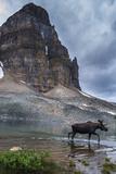 Bull Moose Walking Through Sunburst Lake, Assiniboine Provincial Park Photo by Howie Garber