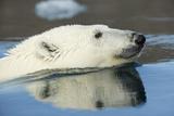Canada, Nunavut, Repulse Bay, Polar Bear Swimming in Hudson Bay Photo by Paul Souders