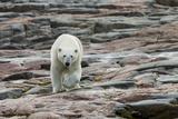 Canada, Nunavut, Repulse Bay, Polar Bear Walking across Rock Surface Photo by Paul Souders