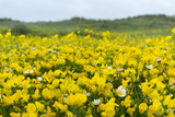 Isle of Lewis, Machair with Birds Foot Trefoil, Scotland Photo by Martin Zwick