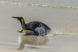 Falkland Islands, East Falkland. King Penguin on Beach Photographic Print by Cathy & Gordon Illg