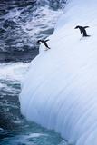 Antarctica. Adelie Penguins Jump of an Iceberg Photo by Janet Muir