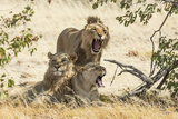 Namibia, Damaraland, Palwag Concession. Three Lions Resting Photo by Wendy Kaveney