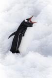 Neko Harbor, Antarctica. Gentoo Penguin Calls Out Photo by Janet Muir