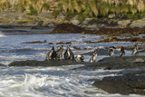 Falkland Islands, Sea Lion Island. Magellanic Penguins and Surf Photographic Print by Cathy & Gordon Illg