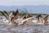 White Pelicans. Lake Chamo. Ethiopia, Africa Photo af Tom Norring