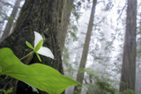 Trillium, Lady Bird Johnson Grove, Prairie Creek Redwoods, California Photographic Print by Rob Sheppard