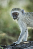 Botswana, Moremi Game Reserve, Vervet Monkey Standing on Tree Trunk Photo by Paul Souders