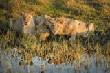 Three Lions Drinking from Pond Photo by Sheila Haddad