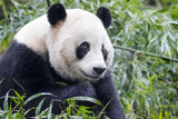 China, Sichuan, Chengdu, Giant Panda Bear Feeding on Bamboo Shoots Photo by Paul Souders