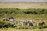 Kenya, Amboseli National Park, Group of Zebras Photo by Anthony Asael