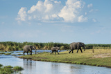Okavango Delta, Family of Elephants Crossing River Photo by Sheila Haddad