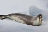 Ross Sea, Antarctica. Rare Ross Seal Photo by Janet Muir