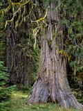 USA, Oregon, Rogue-Umpqua Divide Wilderness. Incense Cedar Tree Photographic Print by Steve Terrill