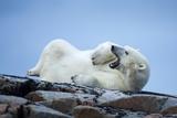 Canada, Nunavut Territory, Repulse Bay, Male Polar Bear Yawning Photo by Paul Souders