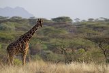 Kenya, Laikipia, Il Ngwesi, Reticulated Giraffe in the Bush Photo by Anthony Asael