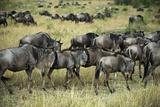 Kenya, Masai Mara National Reserve, Wildebeest Walking Photo by Anthony Asael