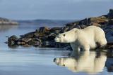 Canada, Nunavut, Repulse Bay, Polar Bears in Shallows of Hudson Bay Photo by Paul Souders