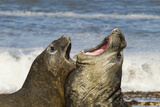 Falkland Islands, Sea Lion Island. Southern Elephant Seals Fighting Photographic Print by Cathy & Gordon Illg