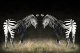 Two Zebras Mirrored Photo by Sheila Haddad