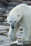 Canada, Nunavut, Repulse Bay, Polar Bear Patrolling Along Shoreline Photo by Paul Souders