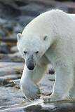 Canada, Nunavut, Repulse Bay, Polar Bear Patrolling Along Shoreline Fotografía por Paul Souders