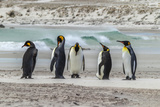 Falkland Islands, East Falkland. King Penguins on Beach Photographic Print by Cathy & Gordon Illg