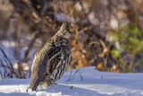 Male Ruffed Grouse (Bonasa Umbellus) in Winter in Glacier NP, Montana Reproduction photographique par Chuck Haney