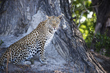 Leopard Sitting by Tree Trunk Looking Out Photo by Sheila Haddad