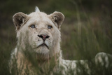 White Lion, Inkwenkwezi Game Reserve, Eastern Cape, South Africa Photo by Pete Oxford