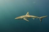 Bronze Whaler Shark, Sardine Run, Eastern Cape, South Africa Photo by Pete Oxford