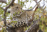 South Londolozi Private Game Reserve. Leopard in Tree with Kill Foto von Fred Lord