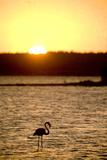 Caribbean, Netherlands Antilles. Flamingo in Gotomeer Lake at Sunset Photo by John & Lisa Merrill