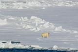 Norway. Svalbard. Hinlopen Strait. Polar Bear Walking on the Drift Ice Photo by Inger Hogstrom