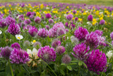 Isle of Lewis, Machair with Red Clover (Trifolium Pratense). Scotland Photo by Martin Zwick
