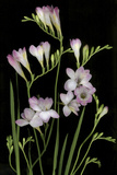 Freesia on Black Background Photo by Anna Miller