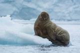 Norway. Svalbard. Brasvelbreen. Atlantic Walrus Resting on an Ice Floe Photo by Inger Hogstrom