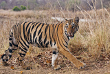 Royal Bengal Tiger in Grassland, Tadoba Andheri Tiger Reserve, India Photo by Jagdeep Rajput